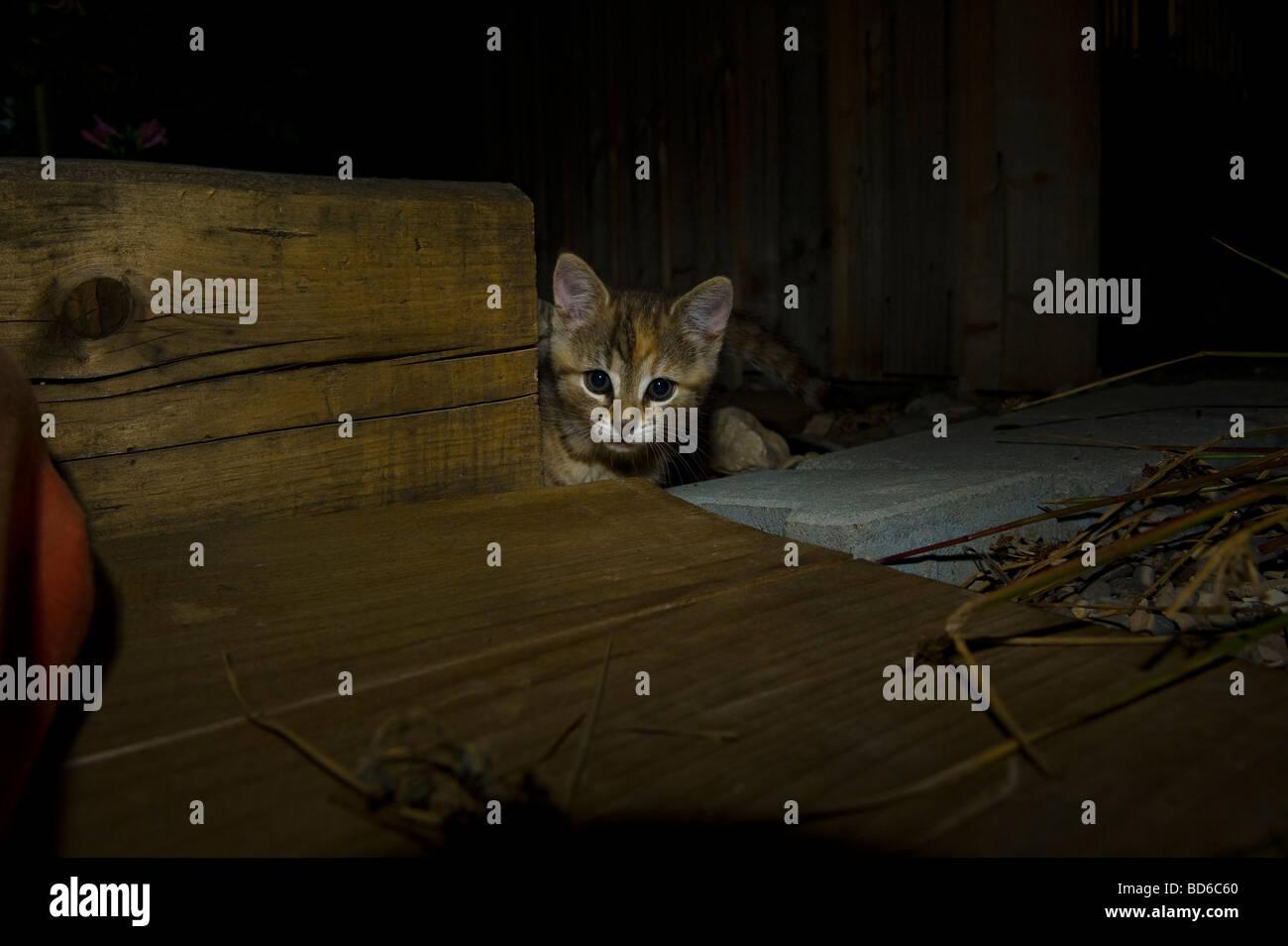 Los jóvenes marrón gato pelado en ambiente nocturno ojos gatito laicos exterior sentar mirar en busca Imagen De Stock