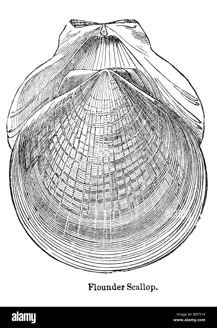 Black White Drawing Flounder Imágenes De Stock & Black White Drawing ...