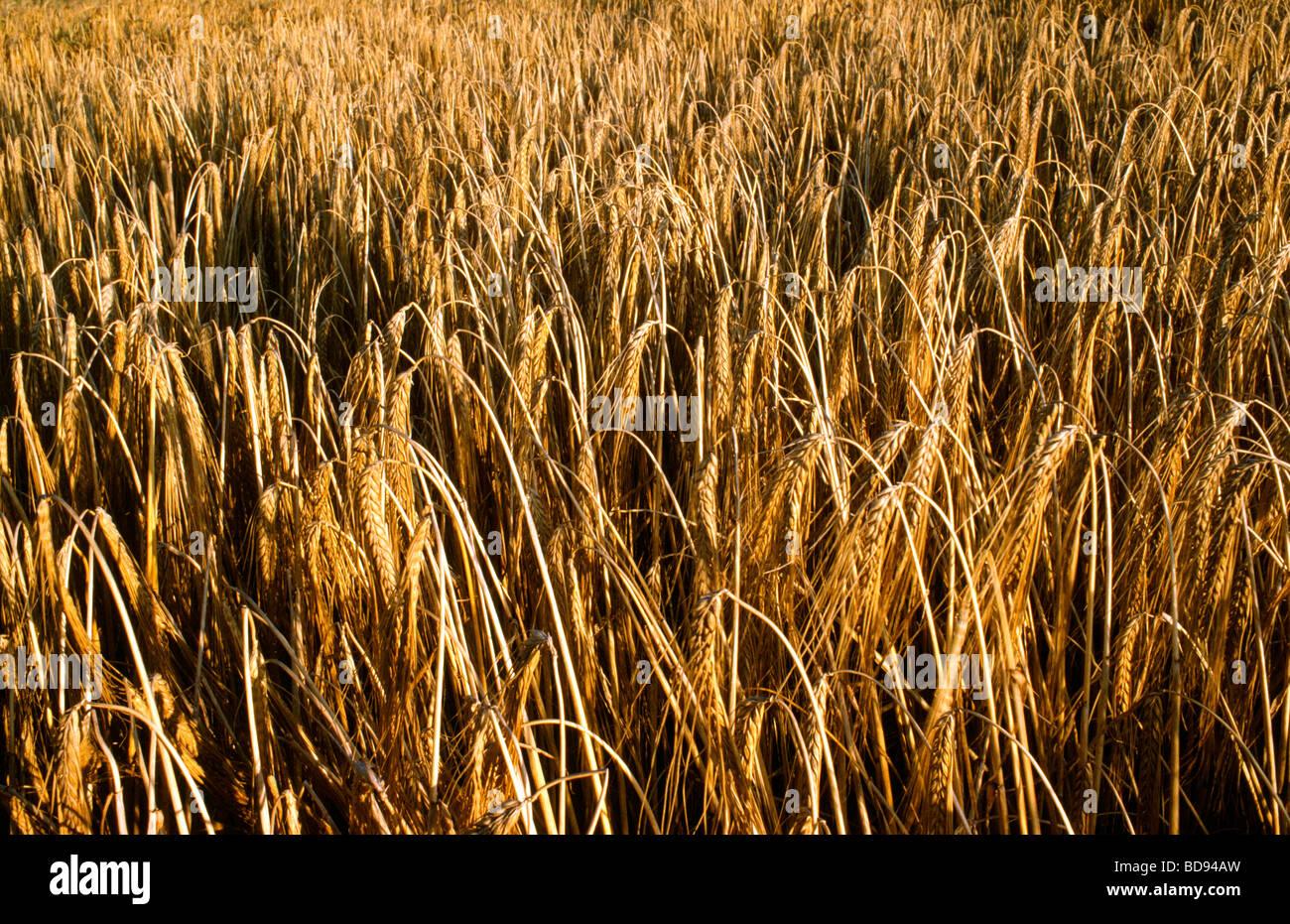 Un campo de trigo campo de trigo Foto de stock