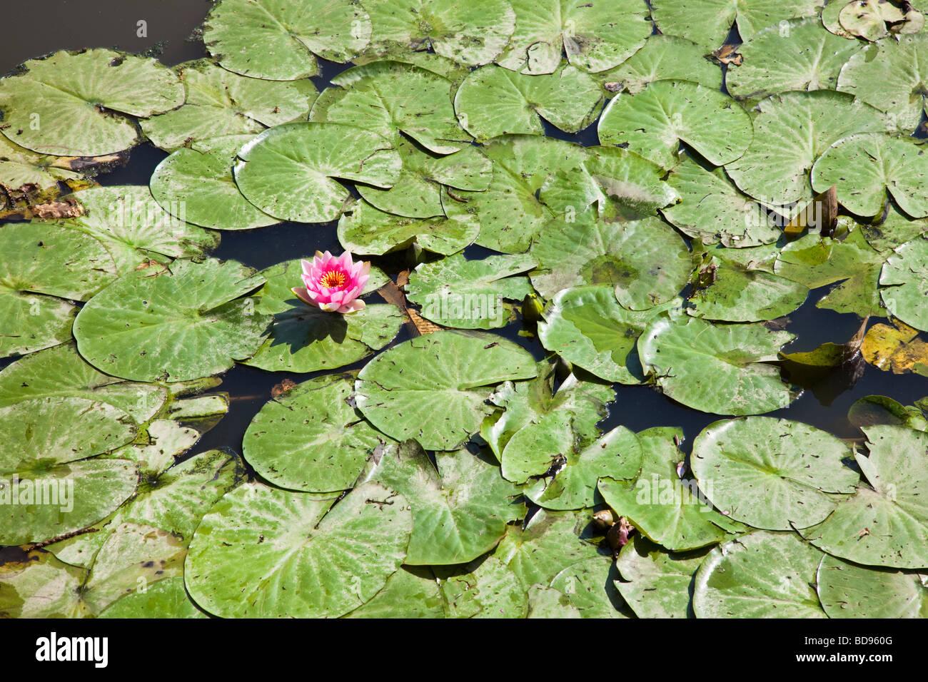 Lirios de agua en un estanque con una flor rosa Imagen De Stock