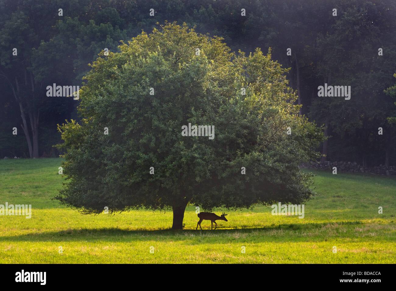 Un joven ciervo naranja debajo de un árbol en Connecticut, EE.UU. Imagen De Stock