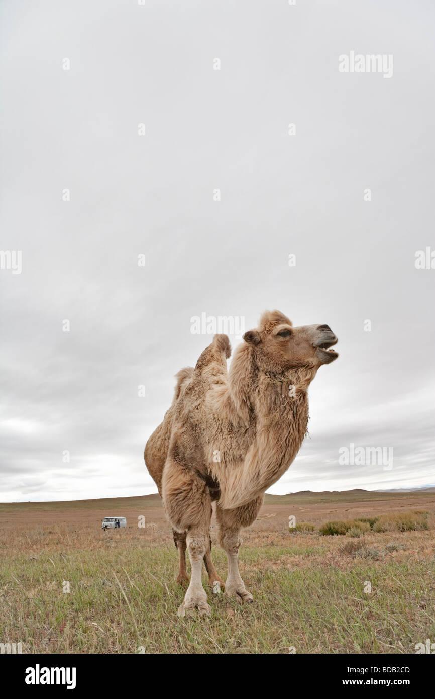 Camello de dos jorobas, norte central de Mongolia Foto de stock