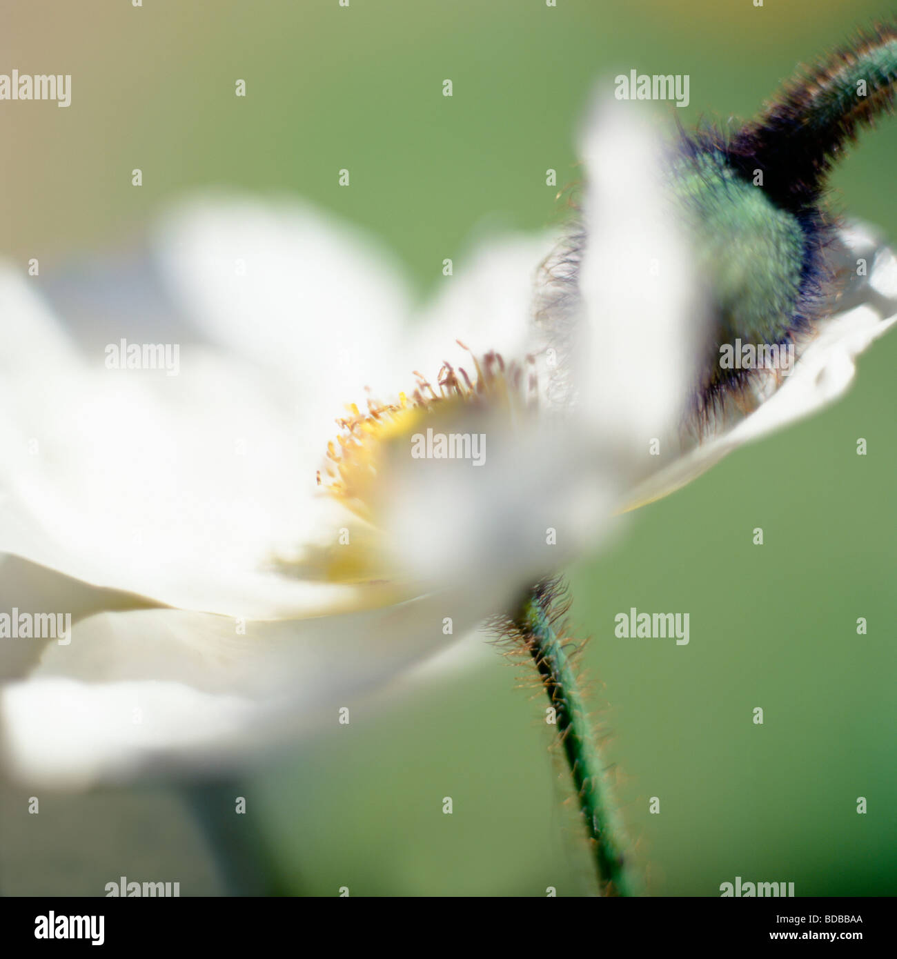 Blanco y pod de amapola belleza en la naturaleza, la fotografía artística Jane Ann Butler Fotografía Imagen De Stock