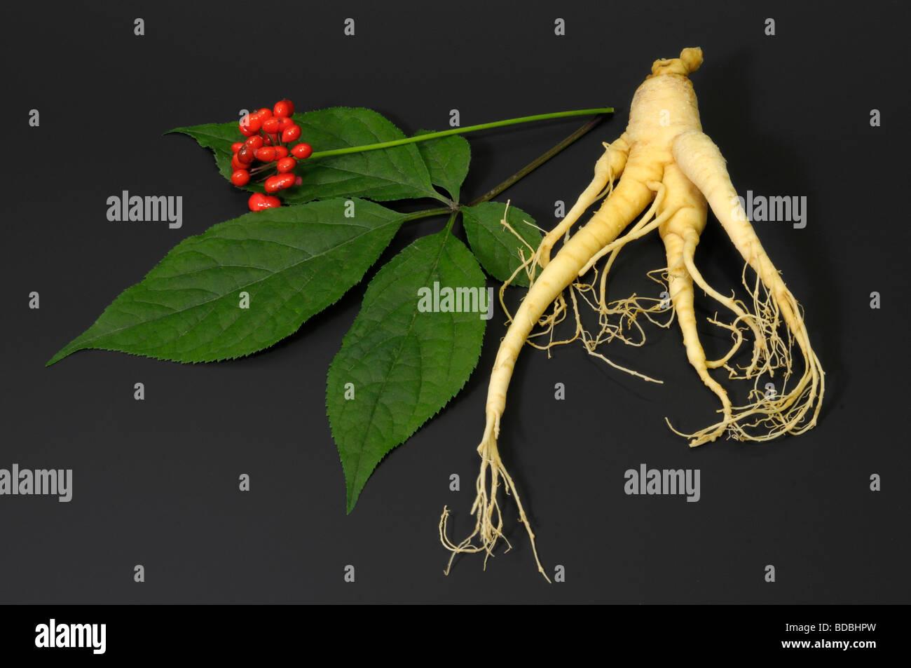 Ginseng (Panax ginseng). Arreglo de frutas, hojas y raíz studio ...