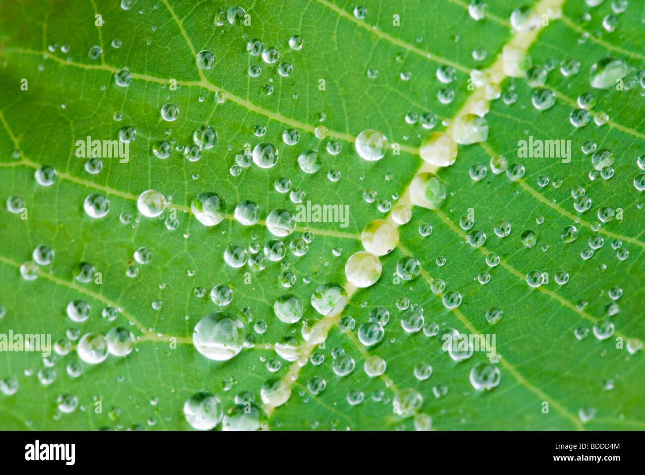 Las gotas de lluvia sobre hoja Cotinus Imagen De Stock