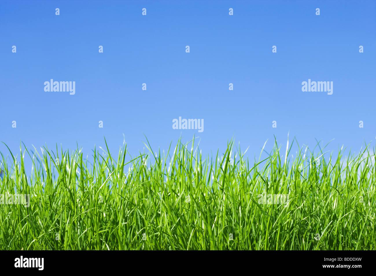 La hierba, bajo el ángulo contra el cielo azul Imagen De Stock