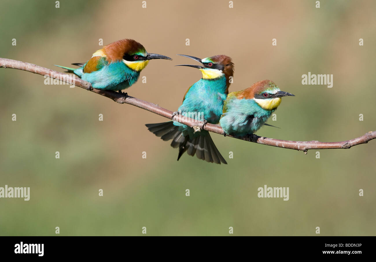 Tres comedores de abeja europea; Merops apiaster; donde se posan en la rama apareamiento Foto de stock