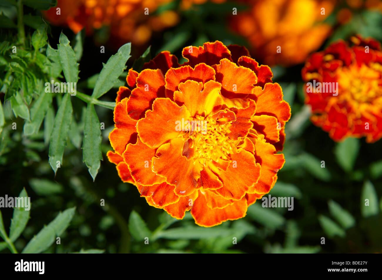 Marigold (Tagetes patula) Foto de stock