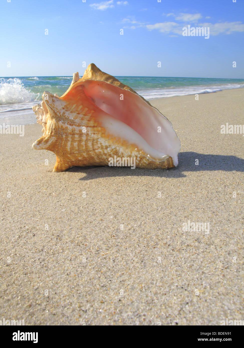 Reina caracola en la playa Imagen De Stock