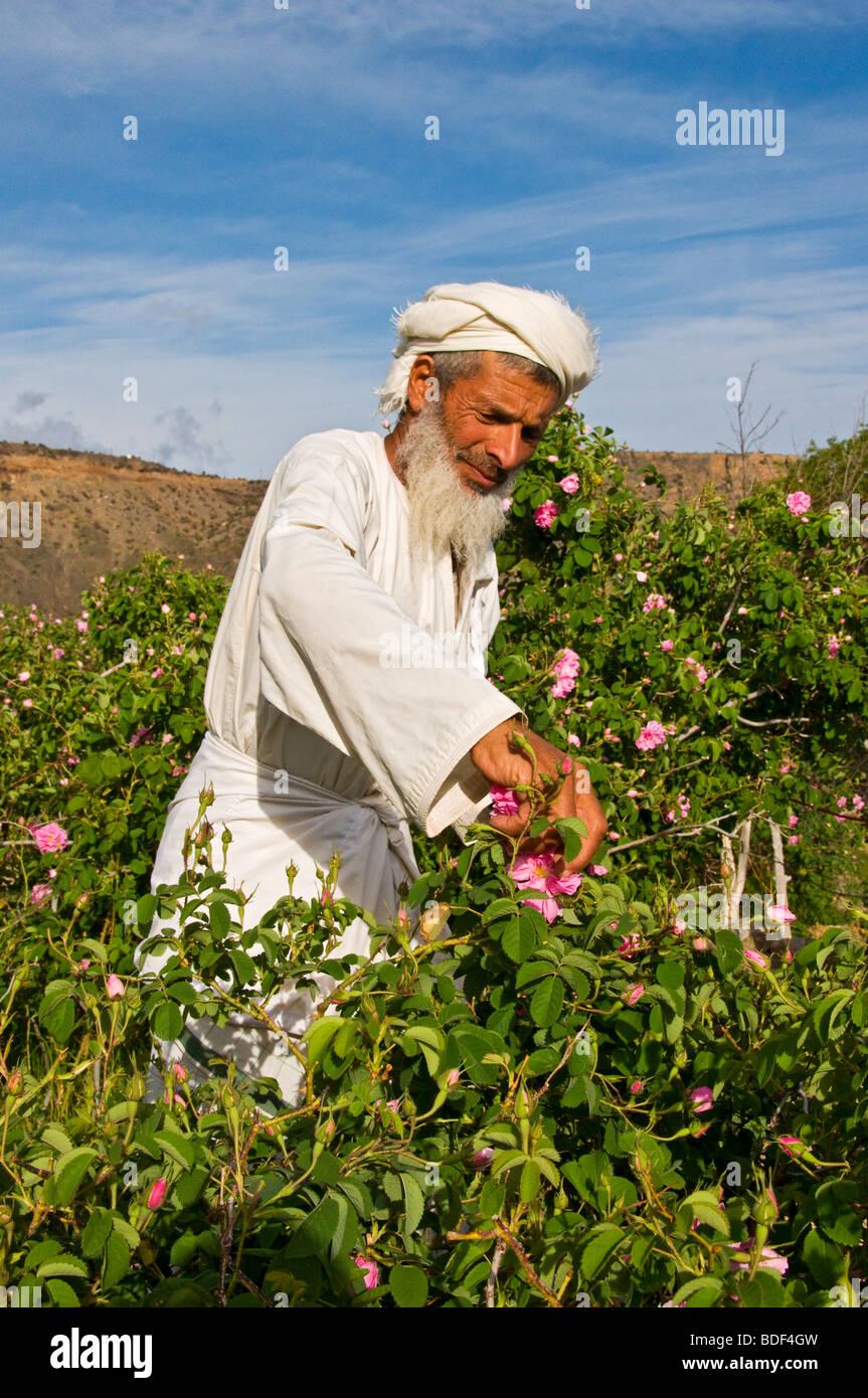Aldeano recogiendo rosas para hacer agua de rosas en la región akdar Al-Jabal al Sultanato de Omán Imagen De Stock