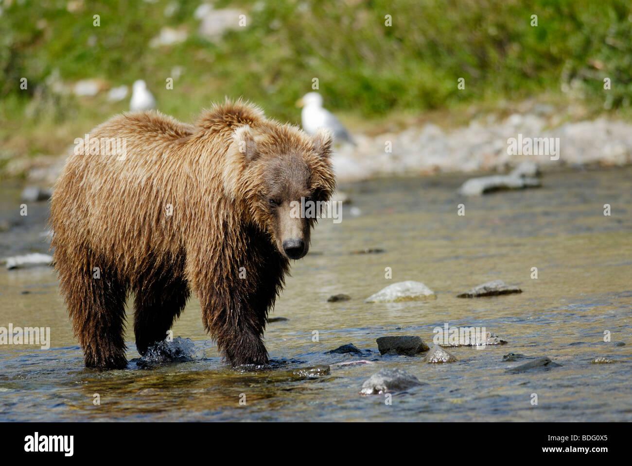 Oso pardo o Grizzly Bear, Ursus arctos horribilis, Parque Nacional Katmai, Alaska Foto de stock