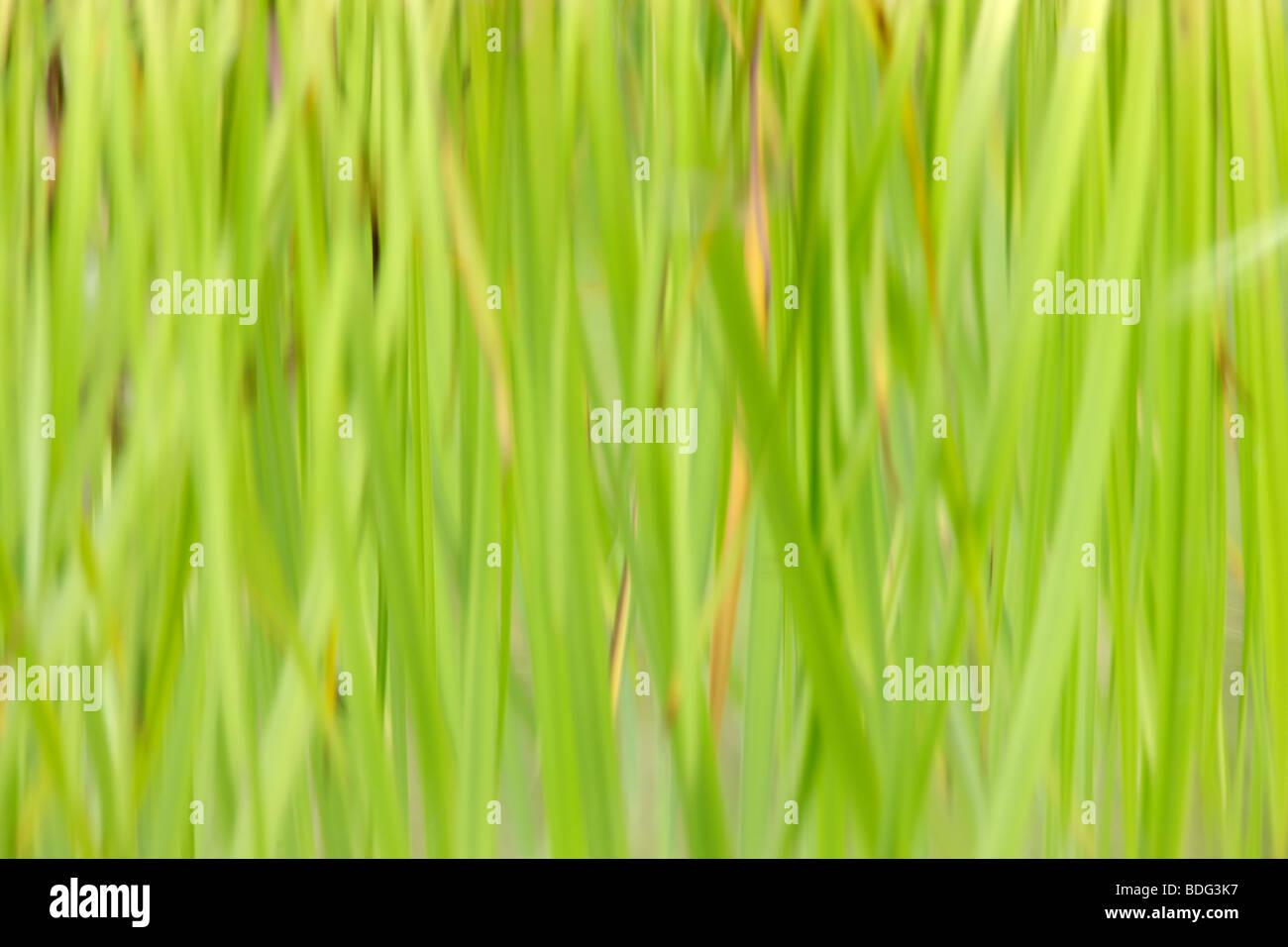 Las cañas se refleja en el agua Imagen De Stock