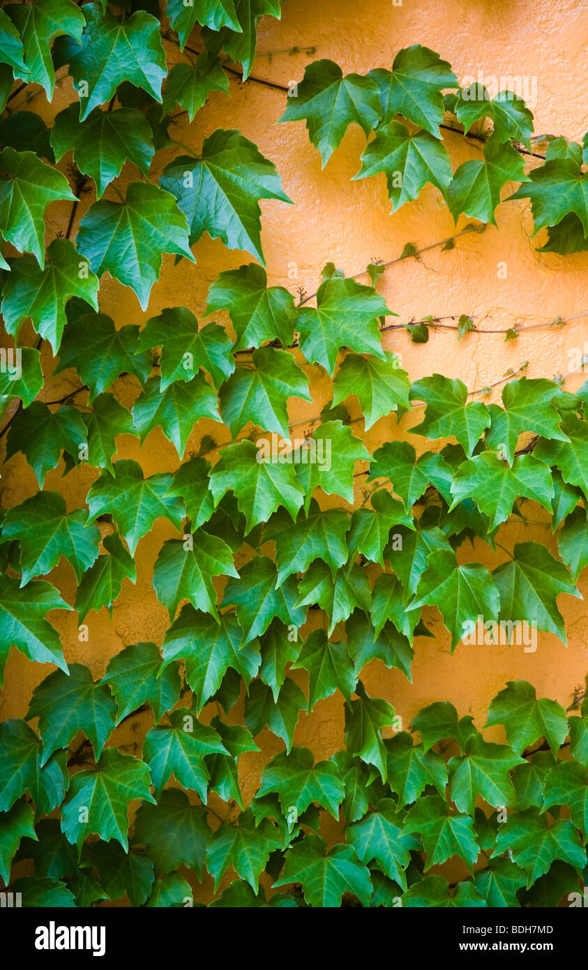 La hiedra crece sobre una pared naranja - Boston, Massachusetts Imagen De Stock