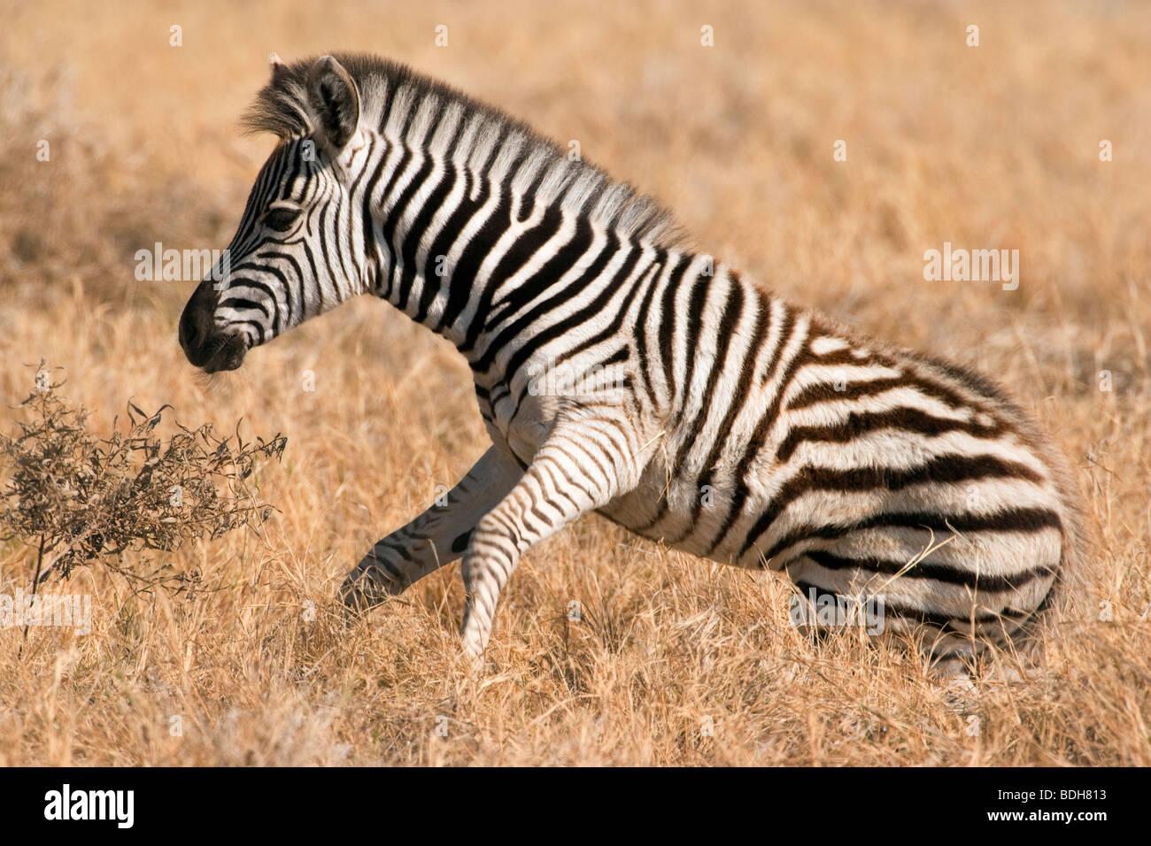 Bebé potro de cebra de pie en la hierba alta sabana en luz cálida en Botswana, África Foto de stock