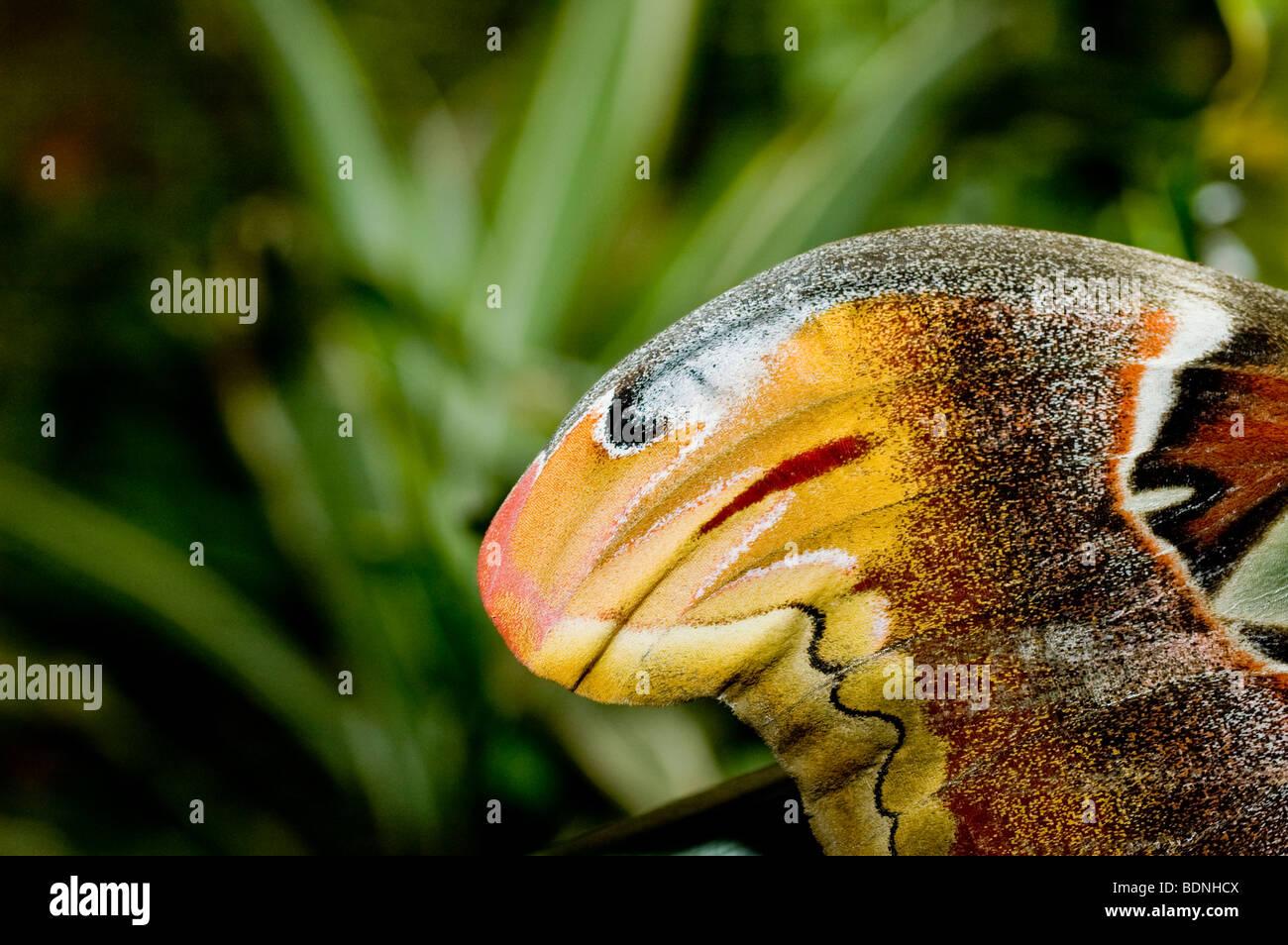 Cerca de la punta del ala de un Atlas polilla. Observe la aparición de la cabeza de serpiente Foto de stock