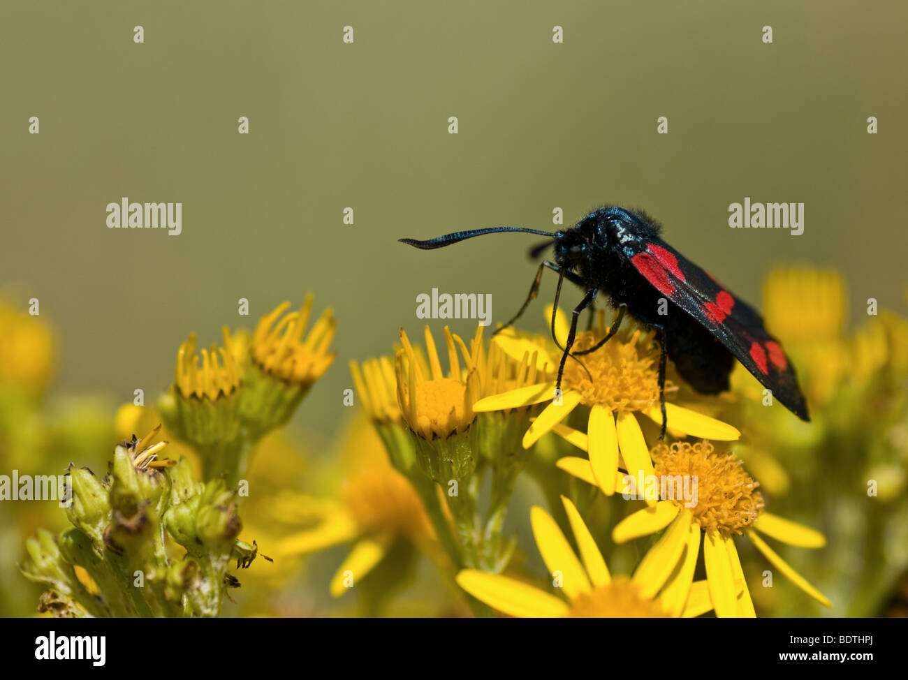 Polilla Six-Spot Burnett (Zygaena filipendulae) sobre hierba cana (Senecio jacobaea) Foto de stock