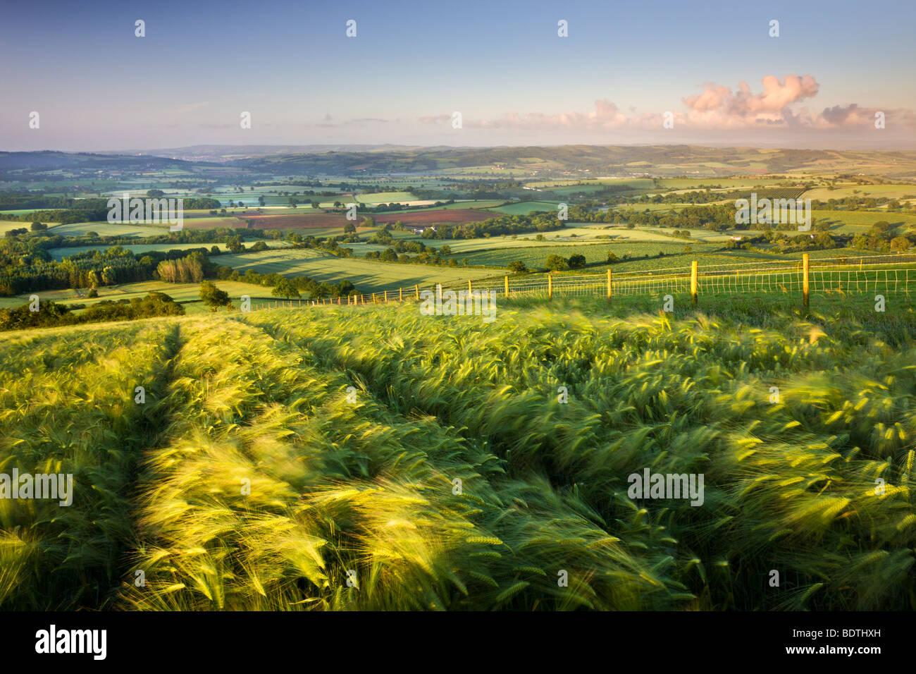 Golden madurado la cebada crece en un campo, en la cima de una colina en la zona rural de Devon, Inglaterra. Verano Imagen De Stock