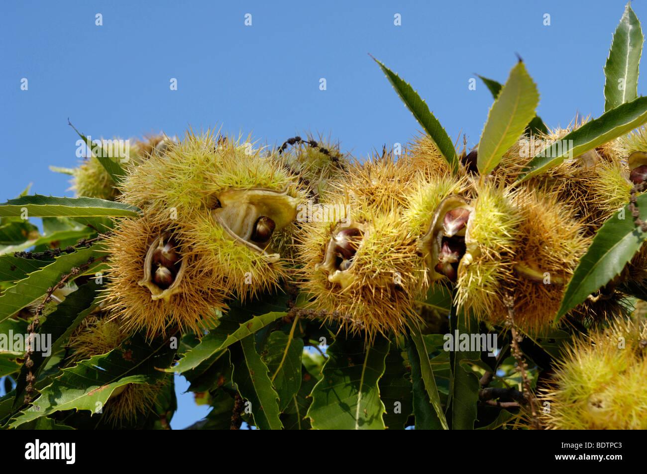 Frutos de castañas, Castanea sativa, Maroni, Esskastanienfruechte, Maronen, Kastanie Kastanien Foto de stock