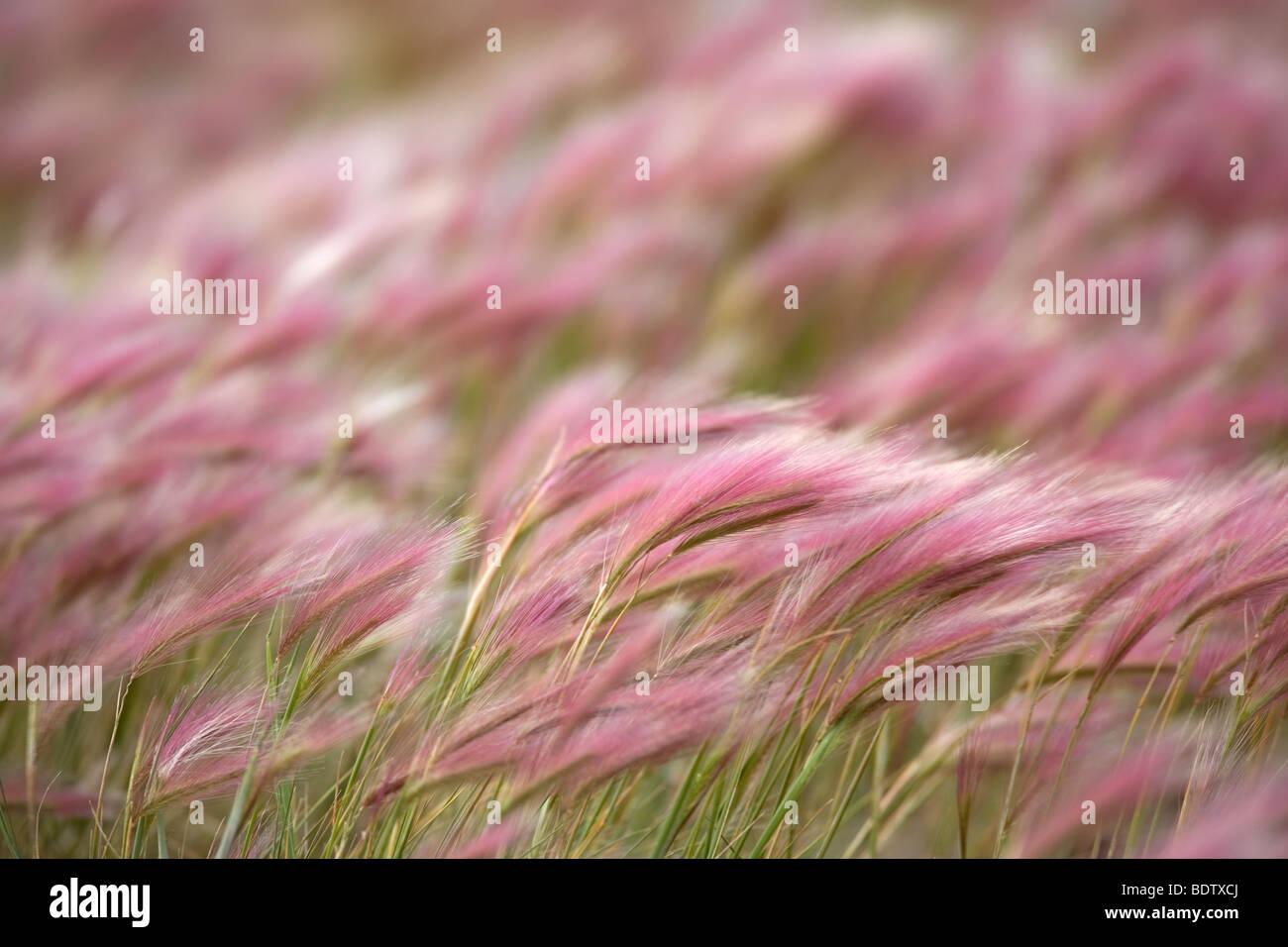 Foxtail Maehnen-Gerste / / Cebada Hordeum jubatum Imagen De Stock