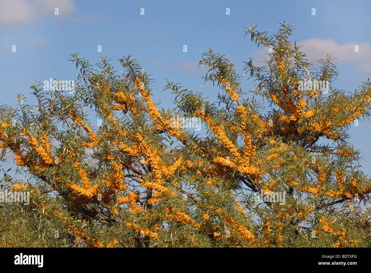Sanddorn Gemeiner / Mar Buckthorn / Hippophae rhamnoides Foto de stock
