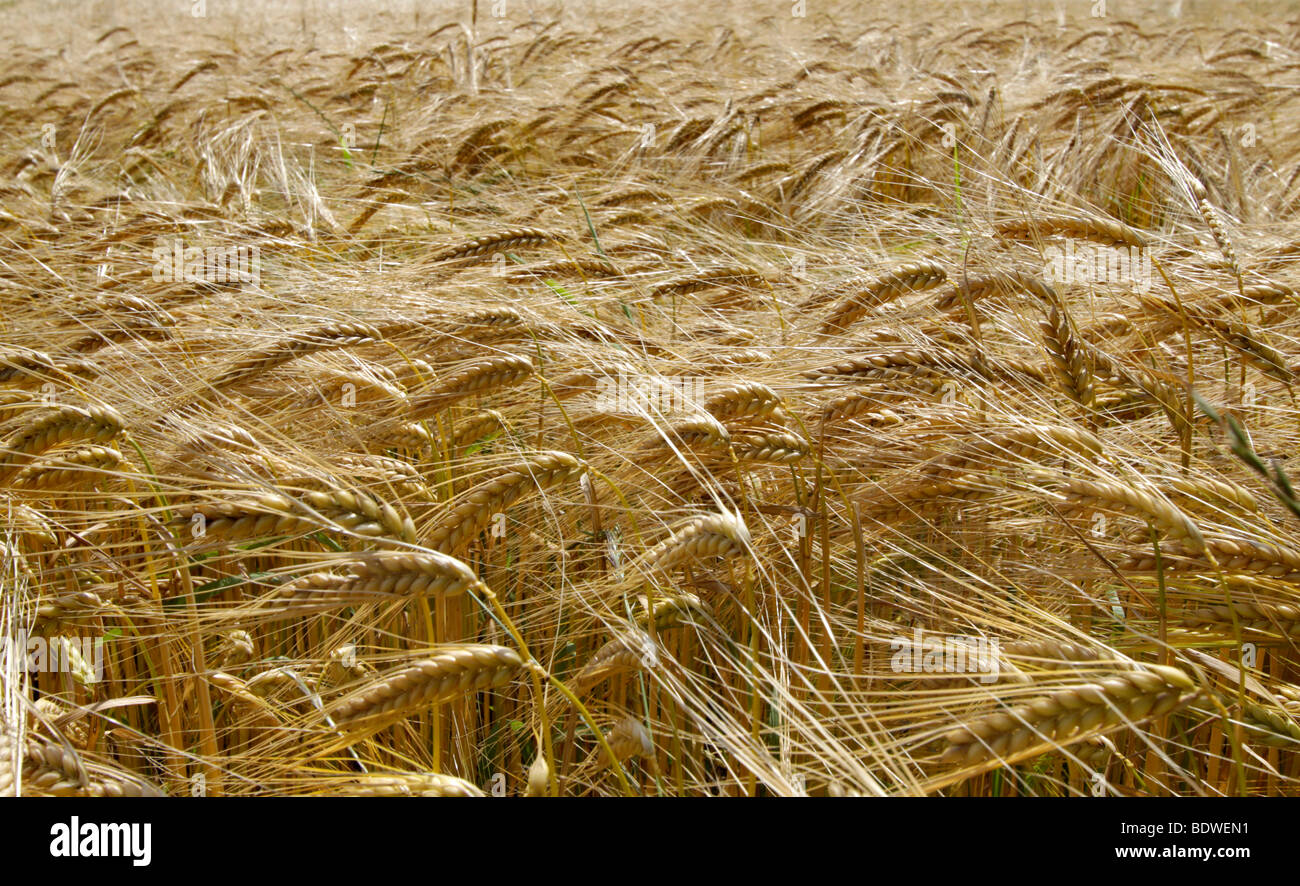 Campo de cebada (Hordeum vulgare) en verano Imagen De Stock