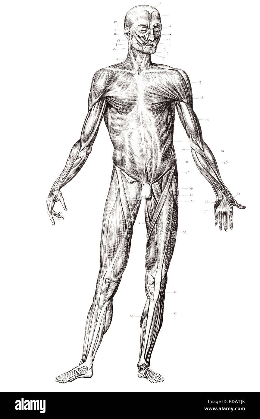 Estructura muscular humana al frente Imagen De Stock