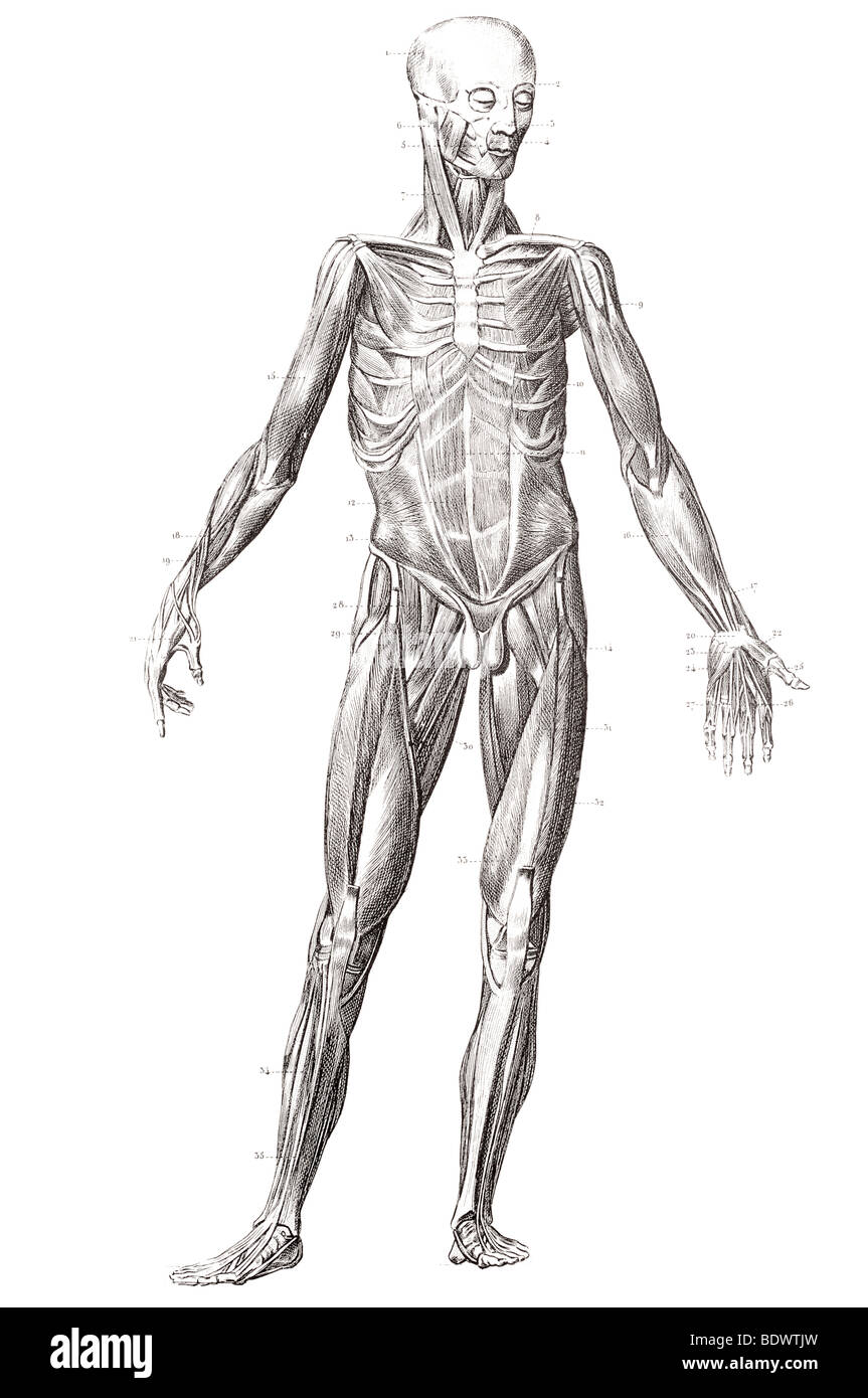 La estructura muscular humana al frente Imagen De Stock