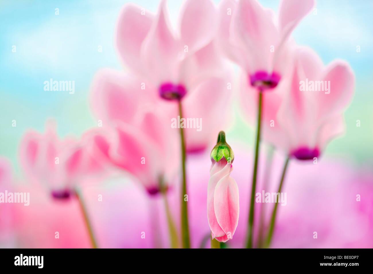 Cerca de Cyclaman rosa flores. Al's Nursery. Woodburn, Oregón Imagen De Stock