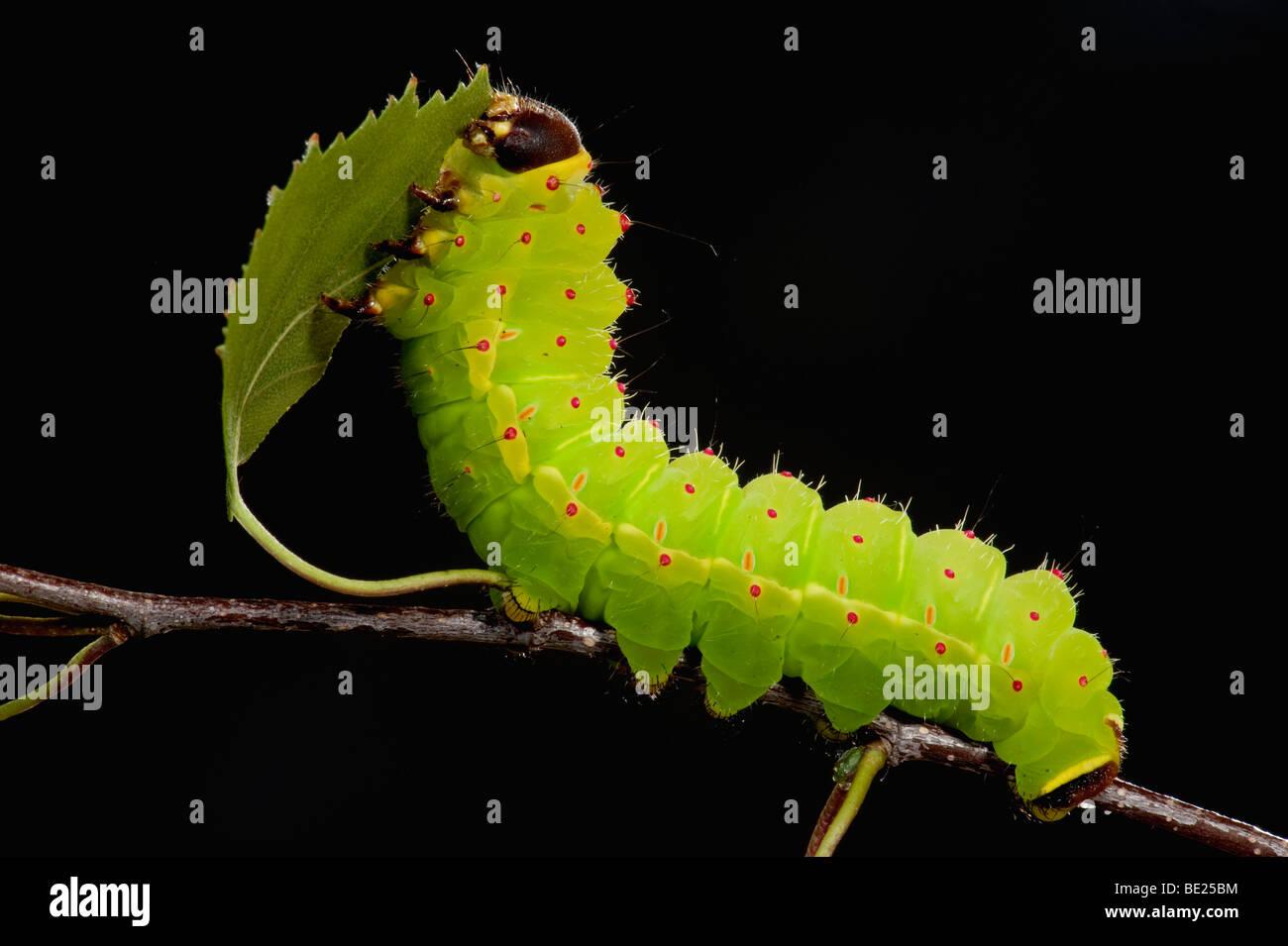 Luna o Luna Actias luna larvas de polilla Caterpillar alimentándose de hojas de abedul verde brillante Imagen De Stock