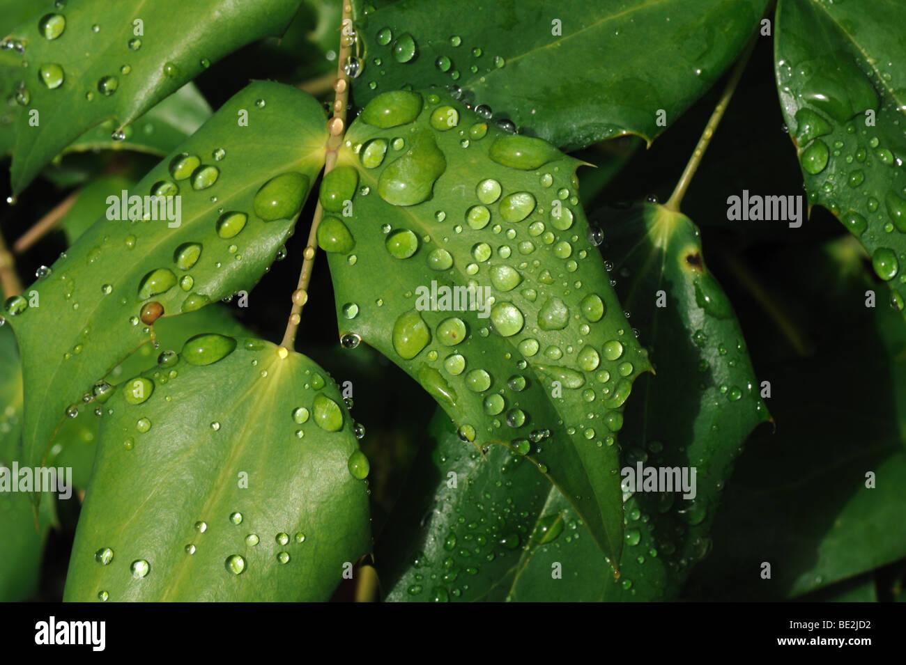 Las gotas de agua de lluvia en la Mahonia X media deja Imagen De Stock