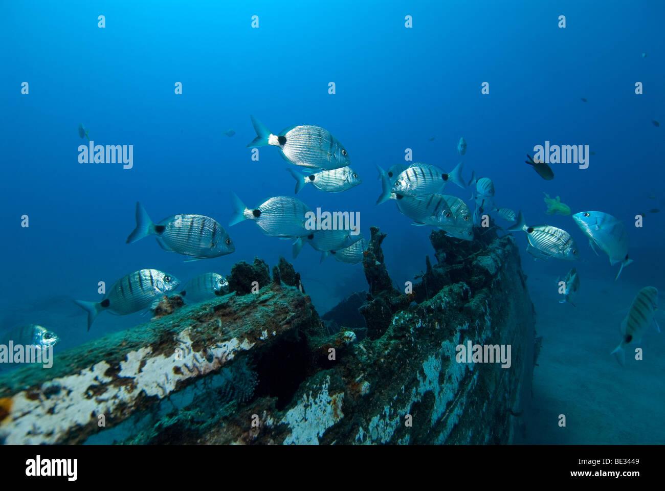 Blanco besugos cerca de naufragio, Diplodus sargus cadenati, Lanzarote, Islas Canarias, en el Océano Atlántico, España Foto de stock