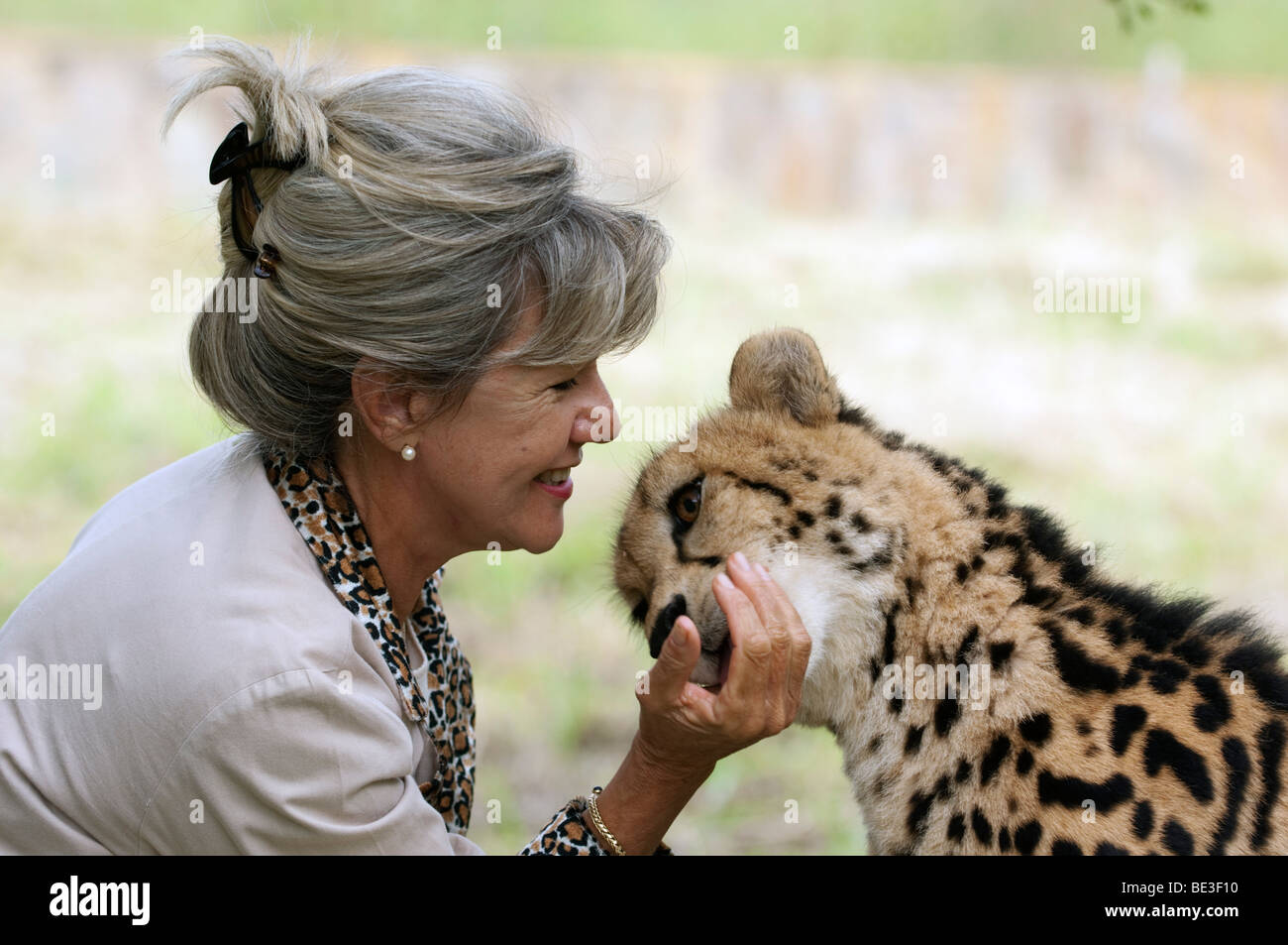 Roode lente con un rey guepardo (Acinonyx jubatus), especies en peligro de extinción, Centro Hoedspruit Kapama, Imagen De Stock