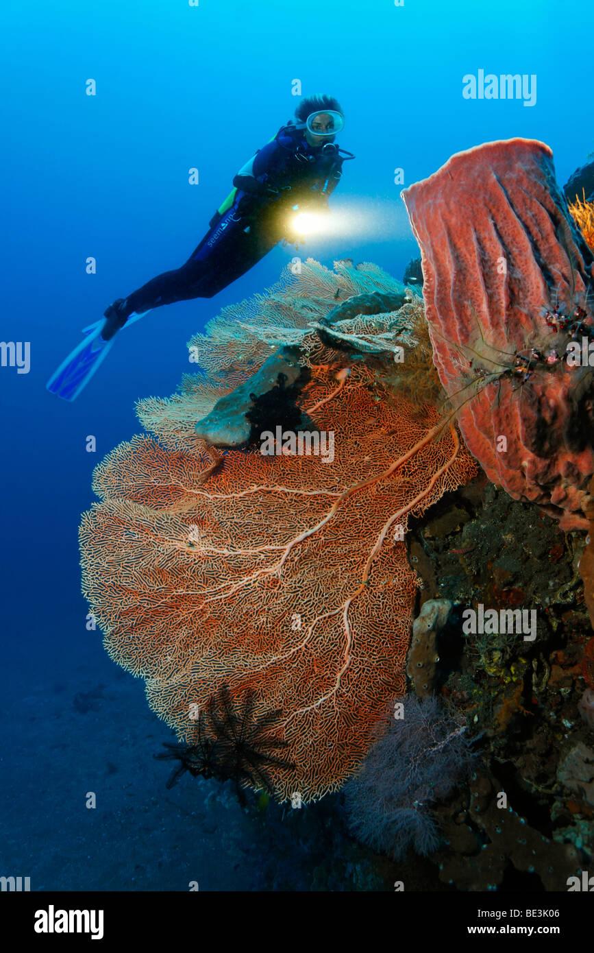 Diver mirando en la formación de los arrecifes con fan de mar (Anella mollis) y esponjas, corales, Kuda, Bali, Indonesia, del Océano Pacífico Foto de stock