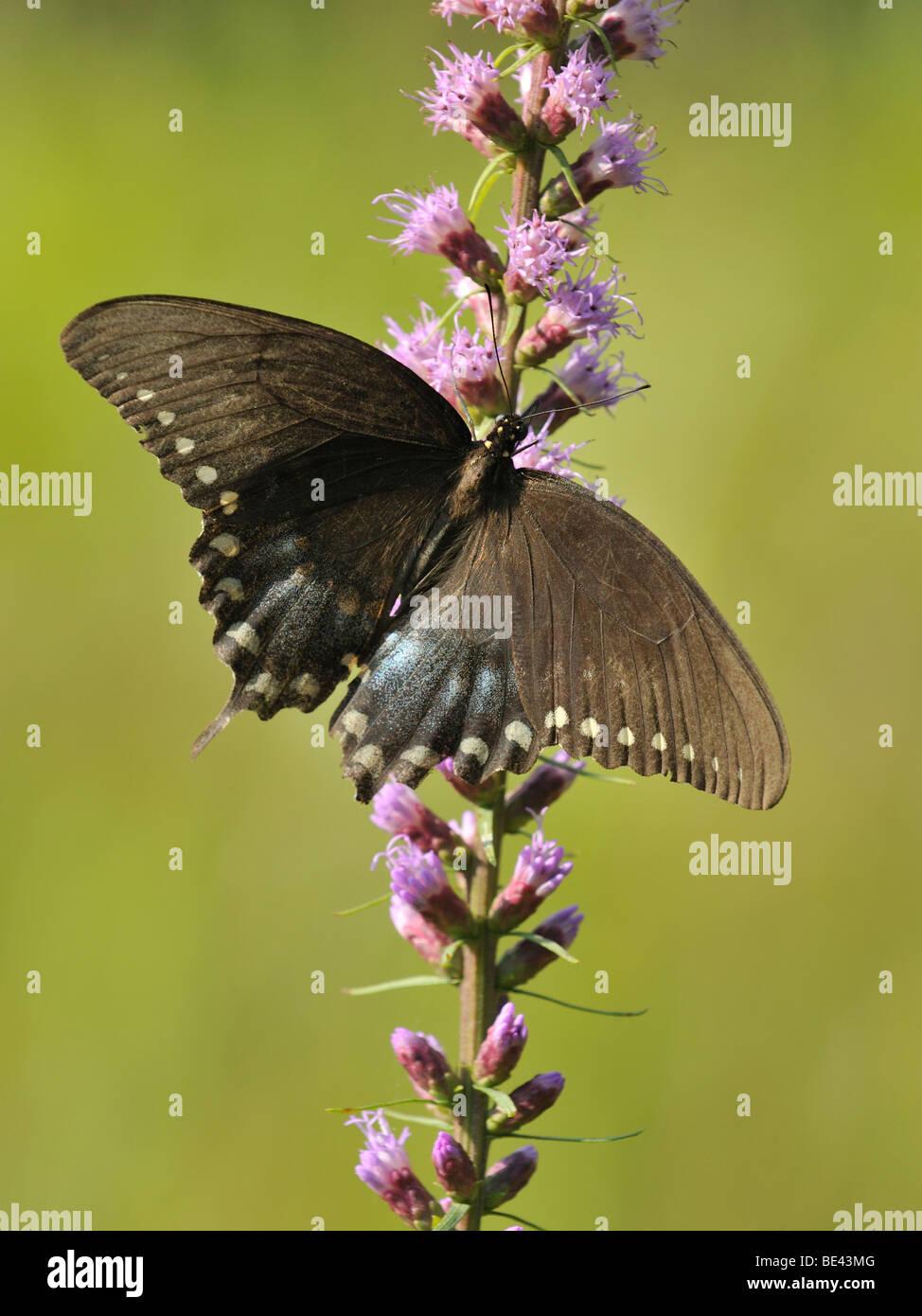 Una hembra Spicebush especie (Papilio Troilo) en una planta de Shooting Star Foto de stock