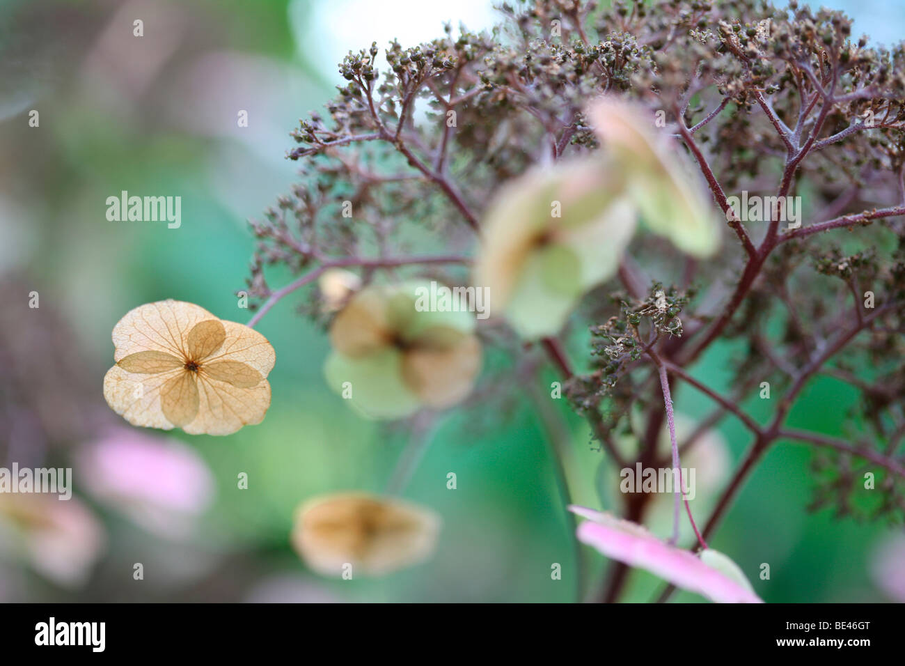 Floración Wild Hydrangea Sargentiana encantadora planta rústica-fotografía artística Jane-Ann Butler Fotografía JABP609 Foto de stock