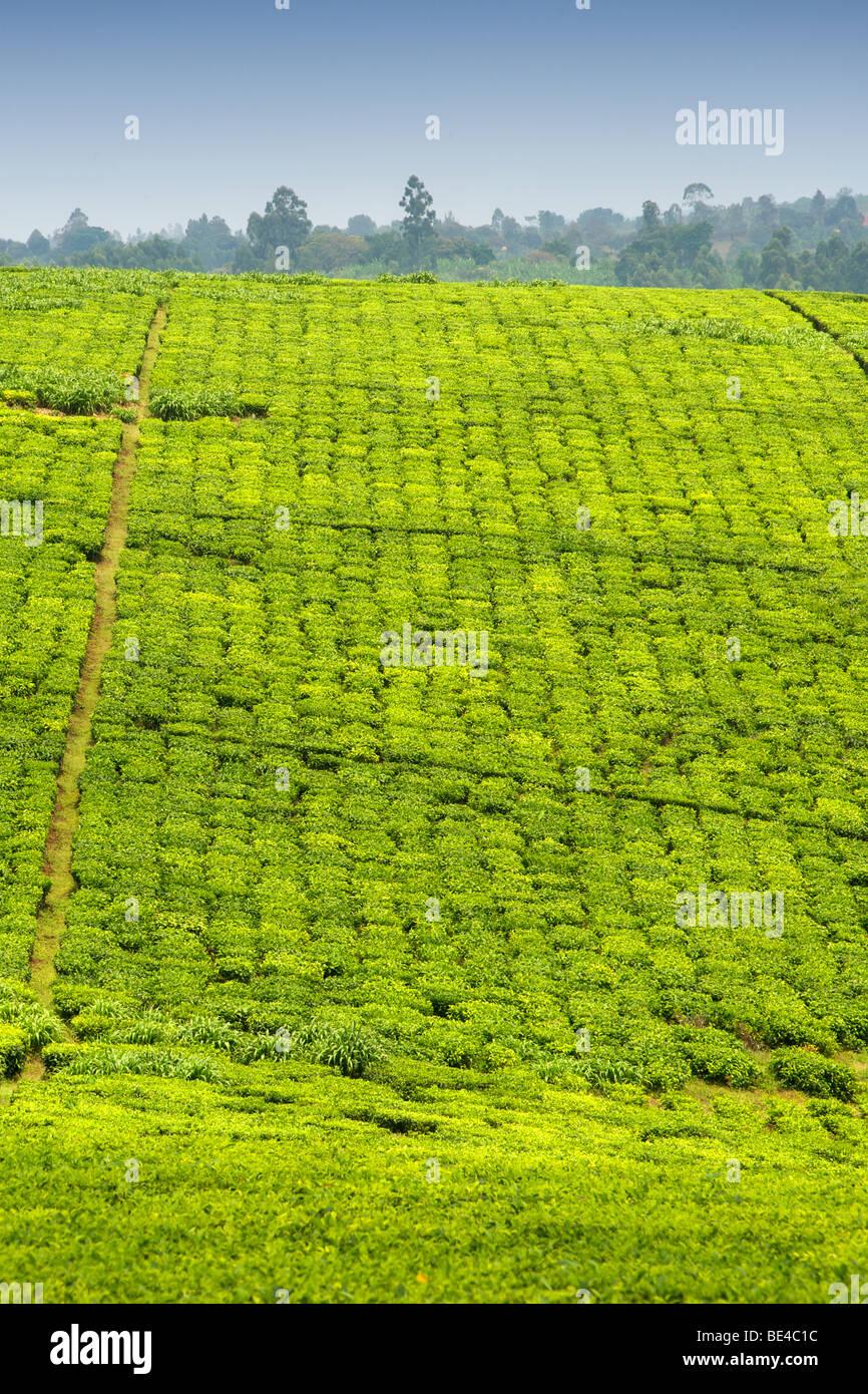 Plantaciones de Té en las afueras de la ciudad de Fort Portal, en Uganda occidental. Imagen De Stock
