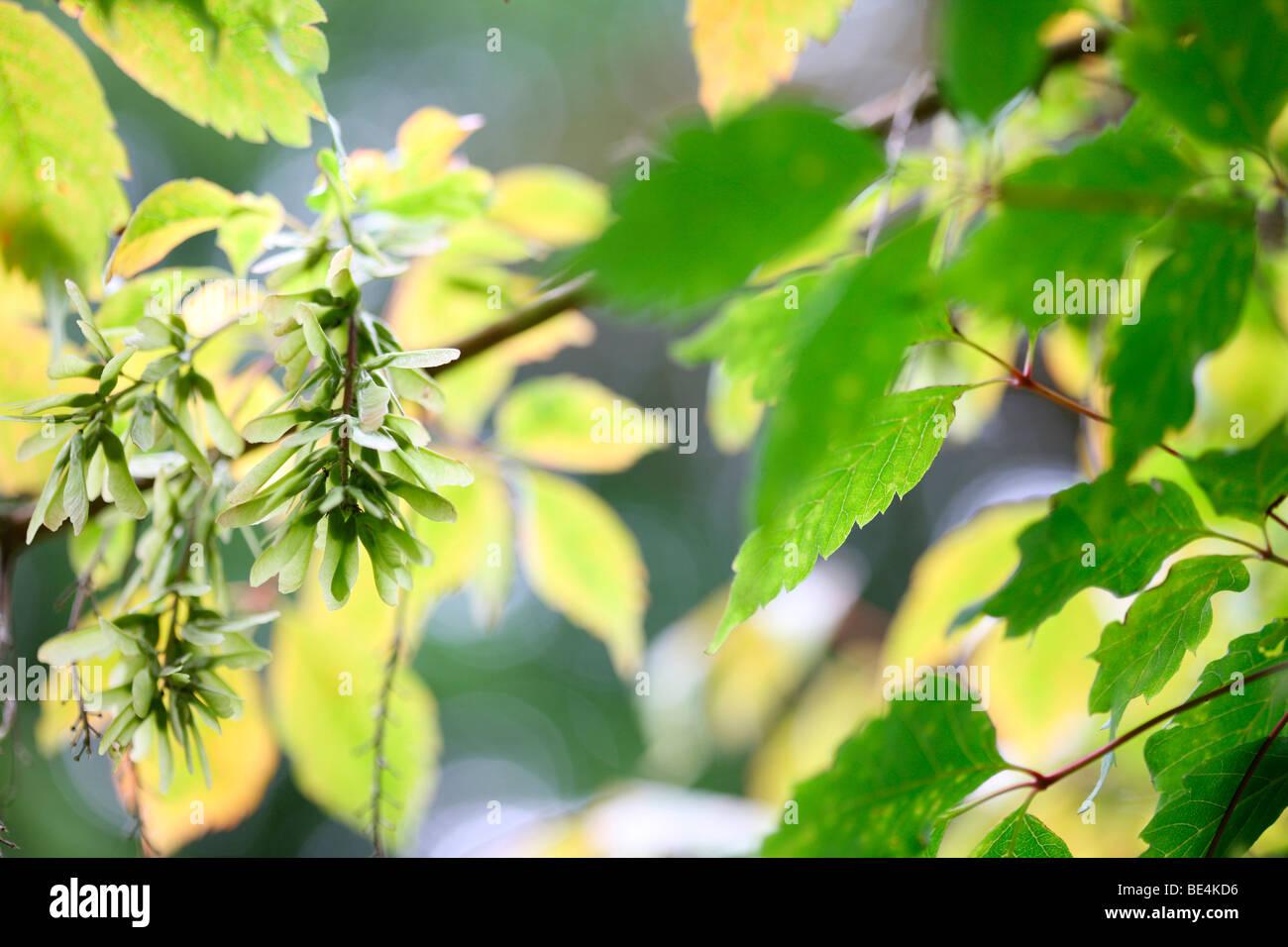 Hojas de vid Maple Acer Cissifolium cambio de temporada de verano a otoño - fotografía artística Imagen De Stock