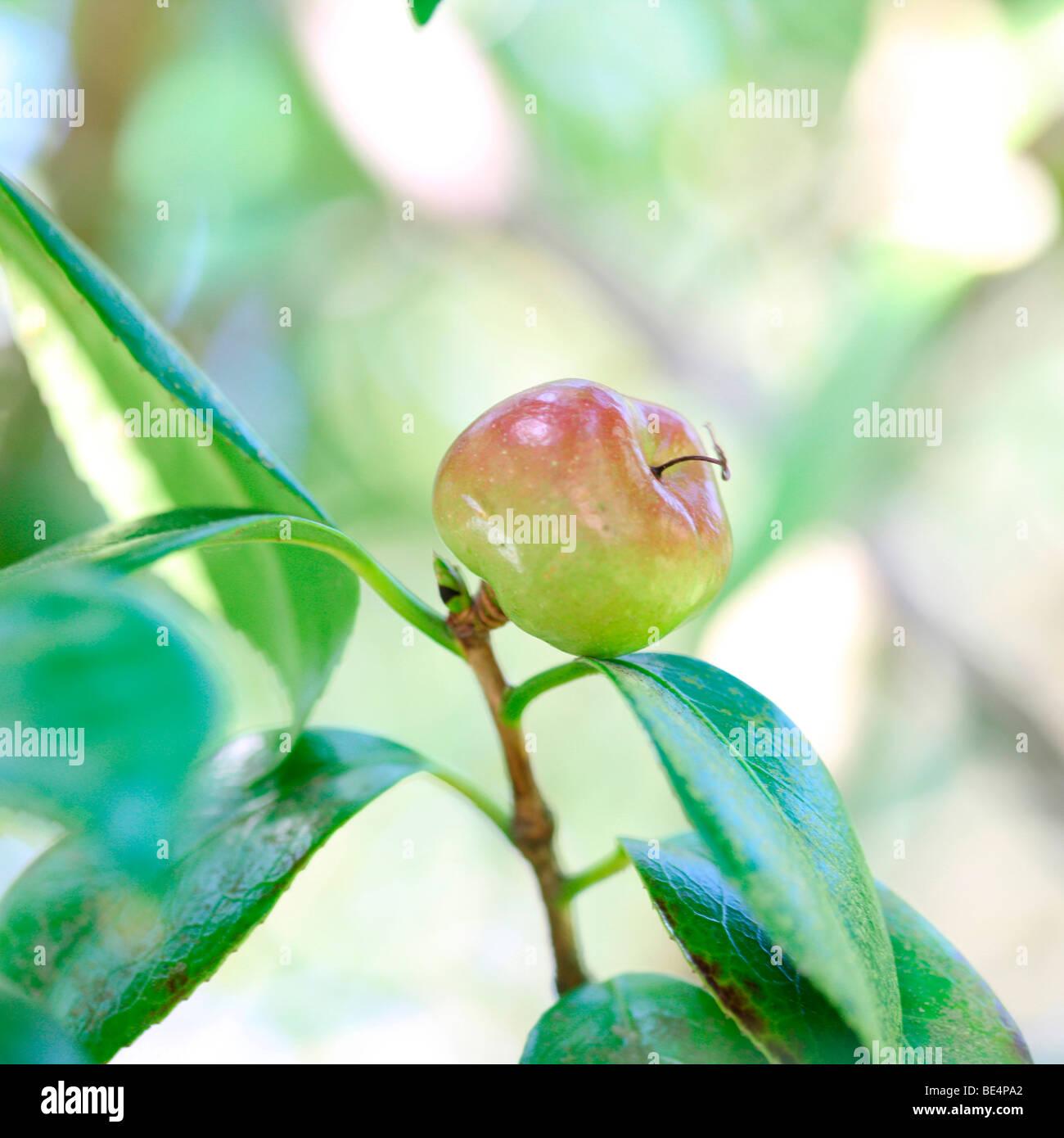 Camellia japonica frutas de verano a otoño Cambio de Temporada - fotografía artística Jane-Ann Butler Imagen De Stock