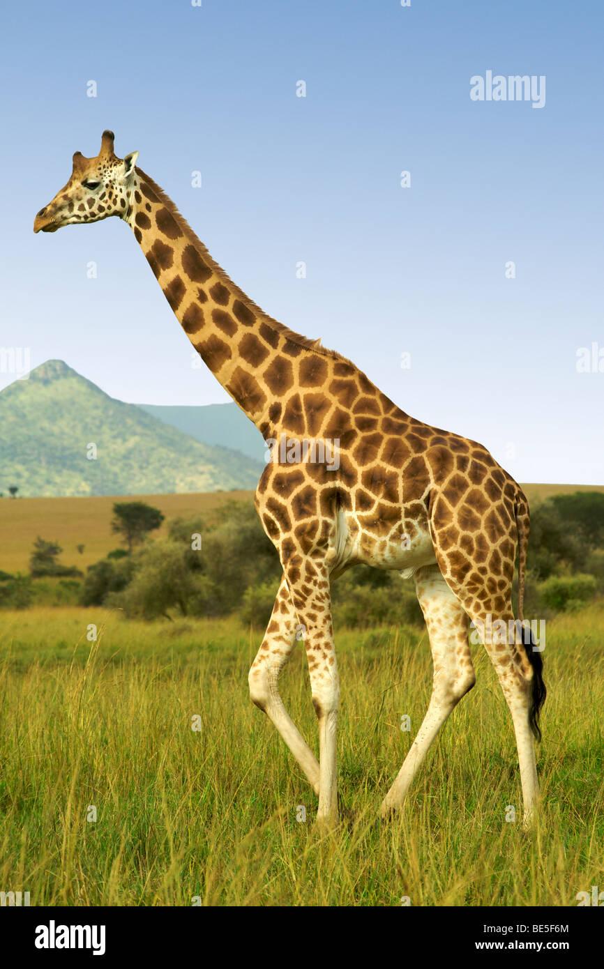 Jirafa de Rothschild en Kidepo Valley National Park en el norte de Uganda. Imagen De Stock
