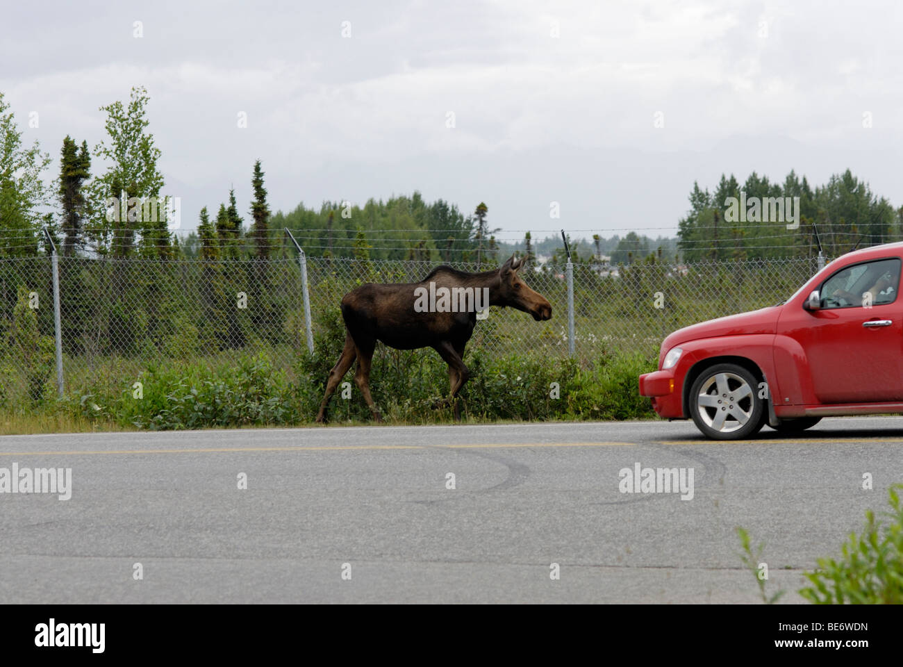 Moose en carretera, Anchorage, Alaska Imagen De Stock
