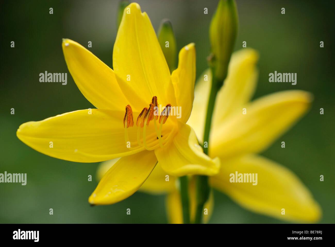 Día amarillo lirios (Hemerocallis), Fischbachau, Alta Baviera, Alemania, Europa Foto de stock