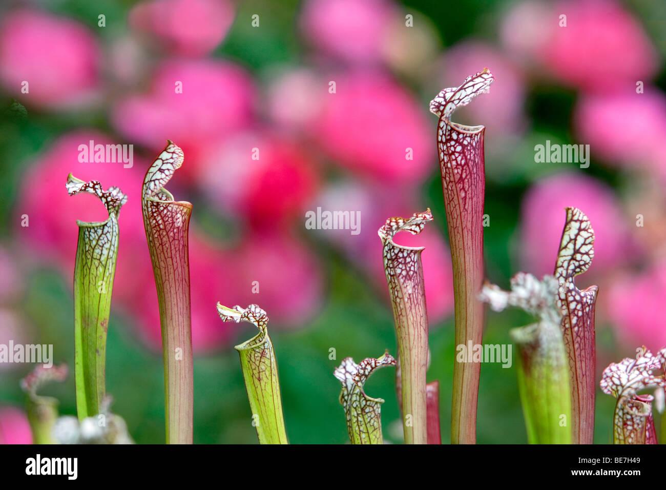 Pitcher Plant (Sarracenia), Hughes jardines acuáticos. Oregon Imagen De Stock