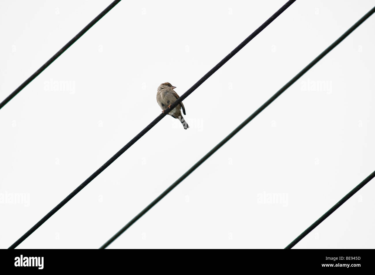 Gorrión (Passer domesticus) sobre una línea eléctrica con 4 líneas Foto de stock