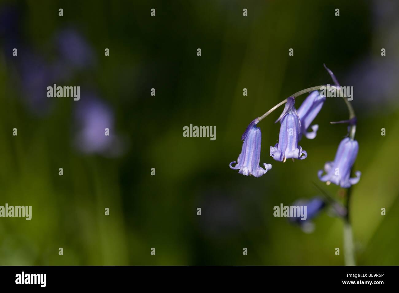 Las campánulas azules en Sussex woodland Foto de stock