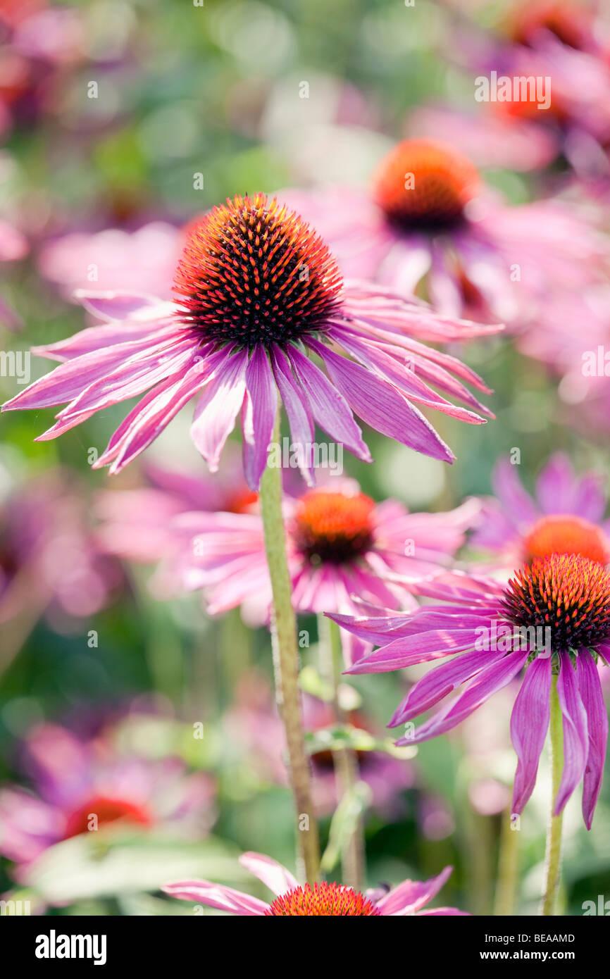 Echinacea purpurea - Purple coneflower Foto de stock