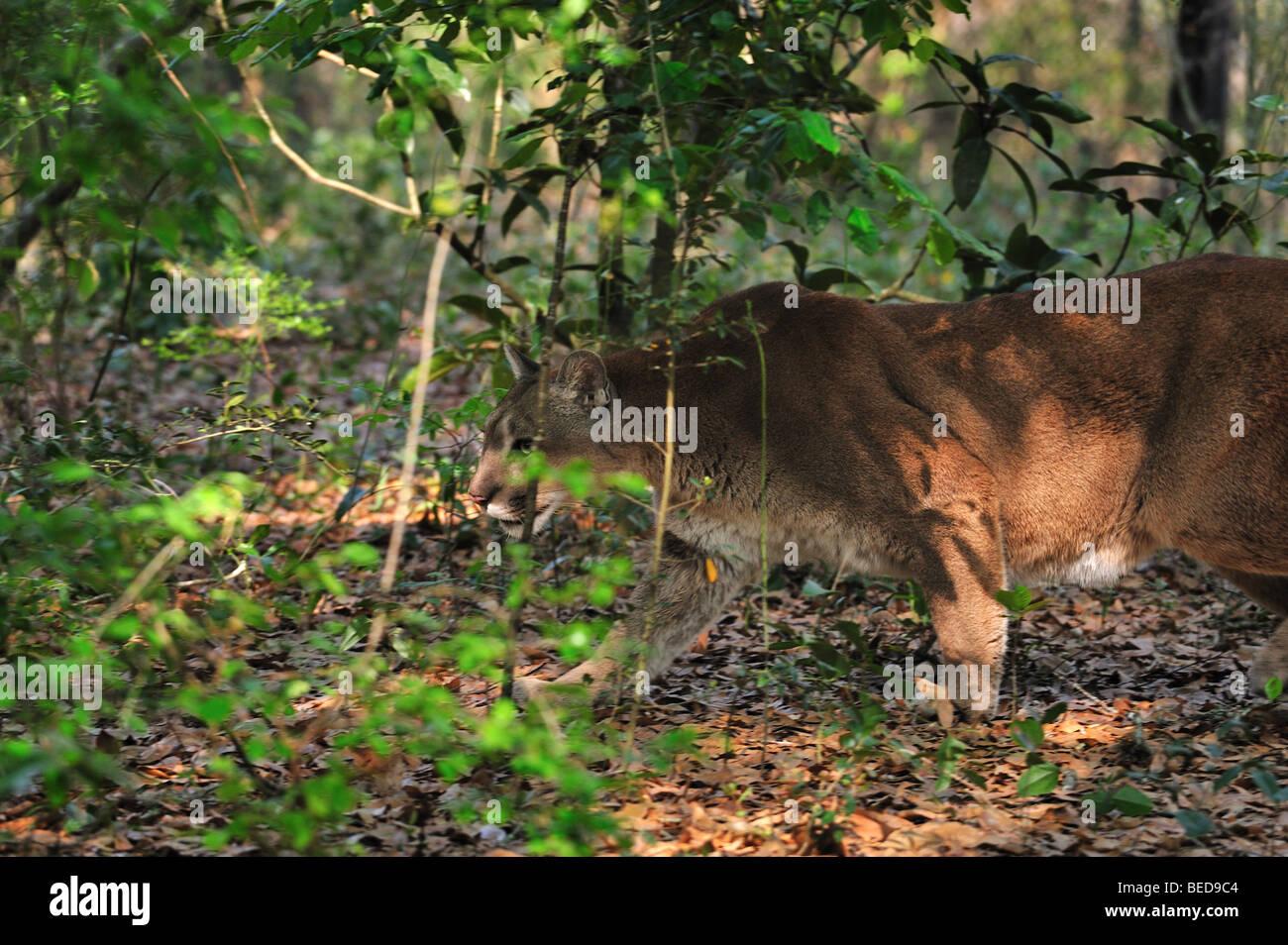 La pantera de Florida, Puma concolor coryi, Florida, cautiva Imagen De Stock