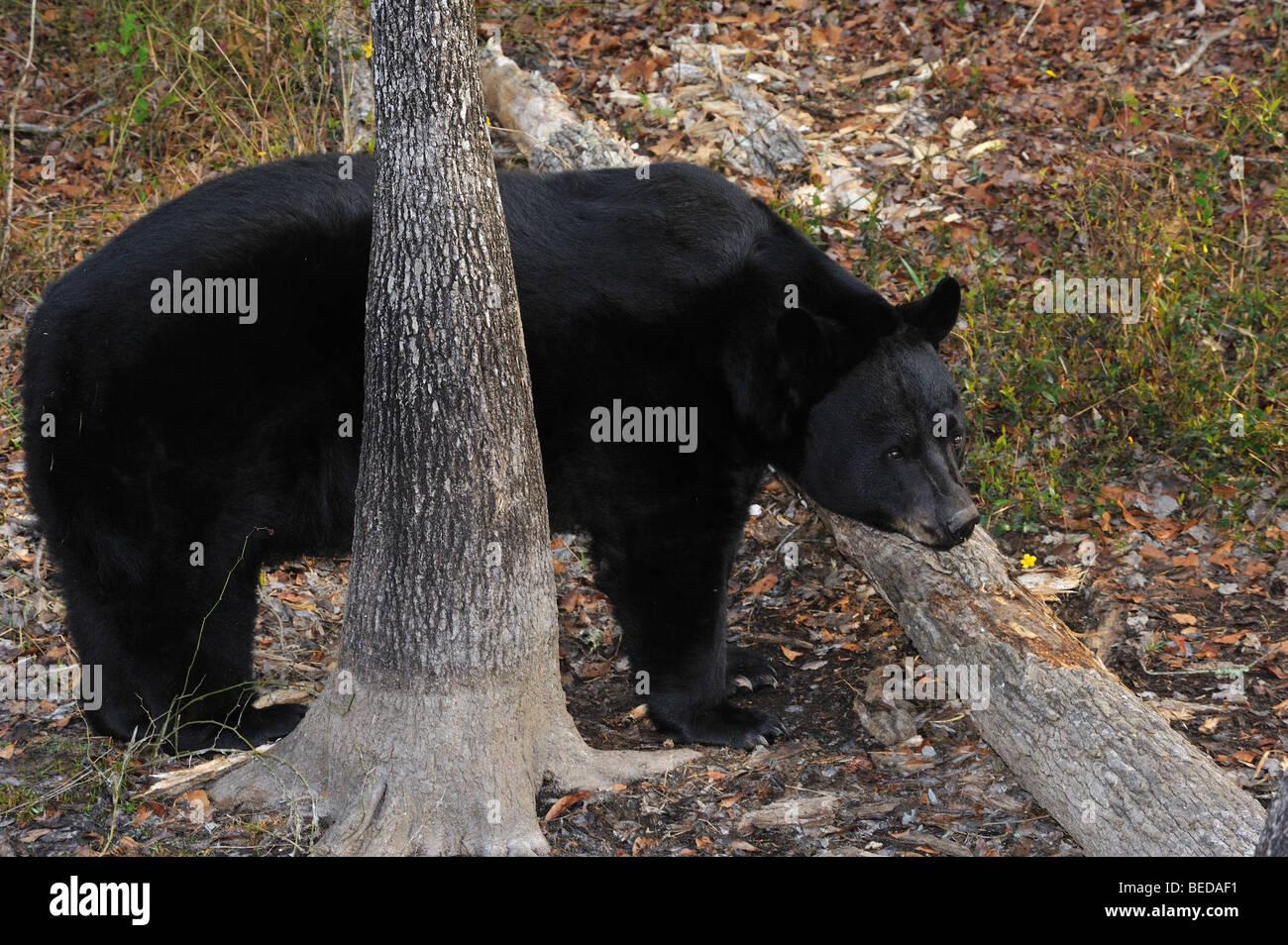 Oso negro Ursus americanus, Florida, cautiva Foto de stock