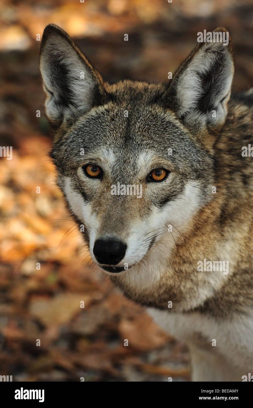 Red Wolf, Canis rufus, Florida (cautivo) Imagen De Stock