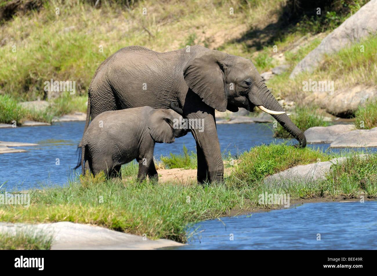 Bush Elefante africano (Loxodonta africana), la pantorrilla el cochinillo, la Reserva Natural de Masai Mara, Kenia, África Oriental Foto de stock