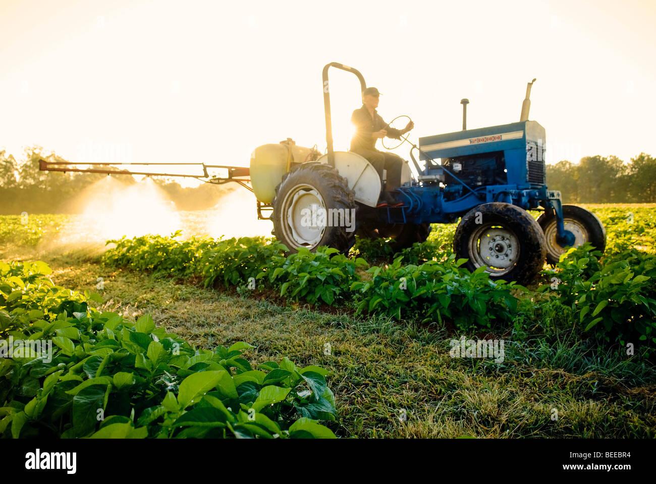 Rociar las algas en un cultivo de papa orgánica - productor orgánico certificado Imagen De Stock